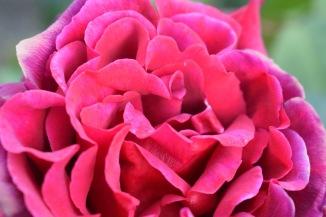 Fig 8. Rose (2017)